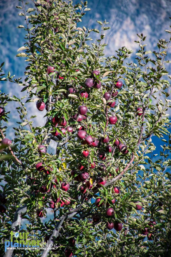 Apple tree in Kalpa